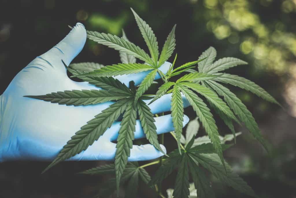 Marijuana plant leaves